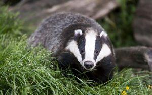Rasierpinsel aus Dachshaar: Wie steht es um den Tierschutz?